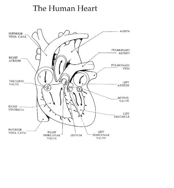 38 best circulatory system  heart  images on pinterest