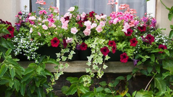 Petunias in window box