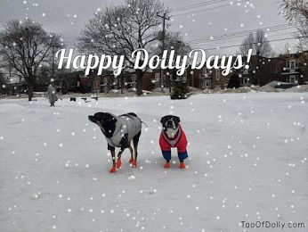 HAPPY DOLLYDAYS! The season calls for festive colours, so I'm wearing my bright red snowsuit to spread dollyday cheer! My pal Misha joins me in wishing you a buddhaful Christmas and a Happy New Year ❤ Dolly the Boston Buddha