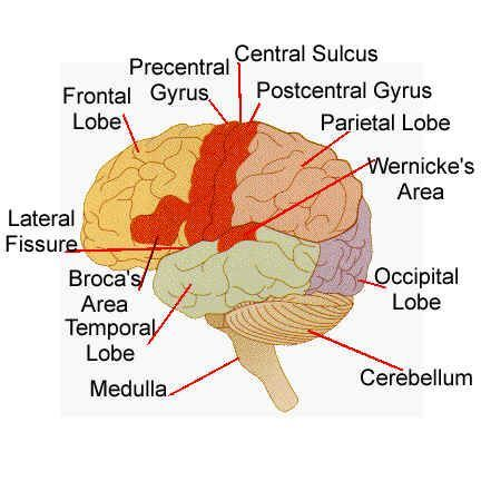 central+nervous+system+labeled+models | Brain anatomy :The brain (average weight 1400gms) has structure: