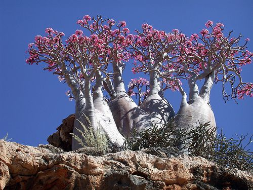 The desert rose has attractive flowers that can be shades of pink, red, white, or a combination thereof. Supposedly they can flower anytime of the year, although spring and fall are more typical. They prefer sunny—even hot—spots and can take a lot of water when actively growing. In the winter, they need to be kept on the dry side, especially when they drop their leaves. This holds true for all fats plants described in this post.