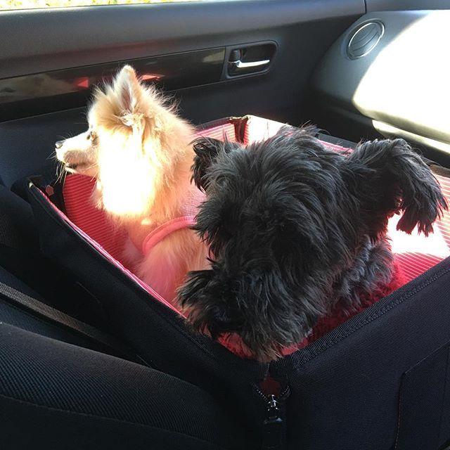 ドライブ中、初めて同じBOXに入れてみた❣️ 居心地の悪いベルと、ベルの存在に気付いてなさそうなシファ(笑) * * #ポメラニアン #保護犬 #里親 #愛犬 #殺処分反対 #犬のいる暮らし  #犬のいる生活 #dogstagram #dog #シニア犬 #老犬 #ミニチュアシュナウザー #元保護犬 #黒シュナ #miniatureschnauzer #pomeranian #保護犬保護猫カフェ川西店 #ラブファイブ #秘密結社老犬倶楽部 #保護犬カフェ卒業生