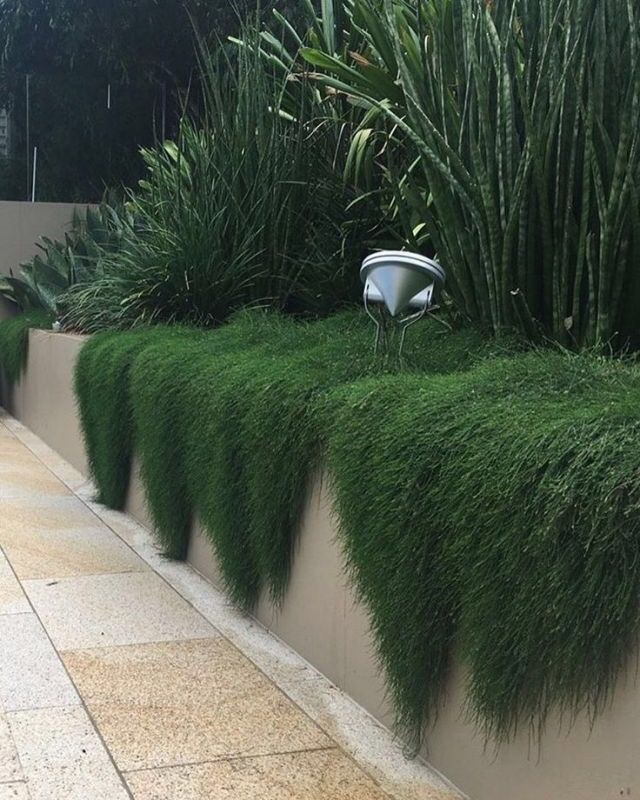 Casuarina 'Cousin It' spilling over wall