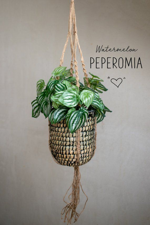 Watermelon Peperomia Cute Artificial Plant With Patterned Leaves Hygge Plant Decor Peperomia Argyreia Peperomia Plant Plant Decor Peperomia