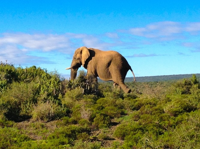 Pictures of Elephant Walking