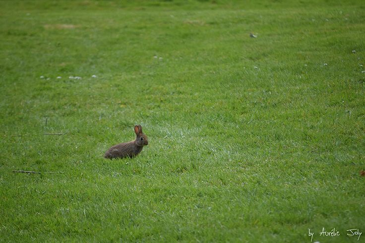 Lapin de Garenne à l'Université de Rennes 1, Campus de Beaulieu le 27 avril 2016 / Wild rabbit at Rennes 1 University, Campus of Beaulieu April 27, 2016