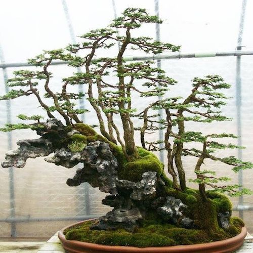 hinoki cypress bonsai forest on rock