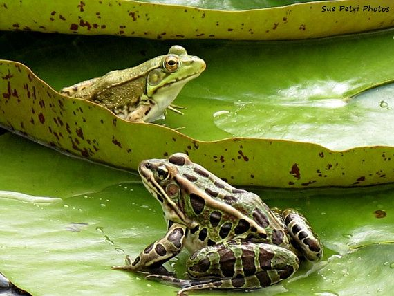 Green frog photography Green Frog Prints 2 frogs by SuePetriPhotos, $30.00