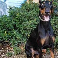 Van Nuys, California - Doberman Pinscher. Meet BRUNO, a for adoption. https://www.adoptapet.com/pet/20297216-van-nuys-california-doberman-pinscher