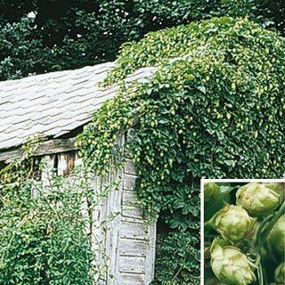 Nugget hops vine for decoration on a trellis landscaping for Hops garden designs