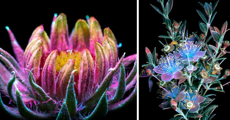 I've photographed hundreds of glowing flowers since 2014 after seeing Oleksandr Holovachov's work with ultraviolet-induced visible fluorescence (UVIVF) photography. Each time I do a set of UVIVF photos, it starts with going out under the cover of darkness to snatch unsuspecting flowers growing around the neighborhood. I rarely know what to expect from a flower before I get it back to shoot.