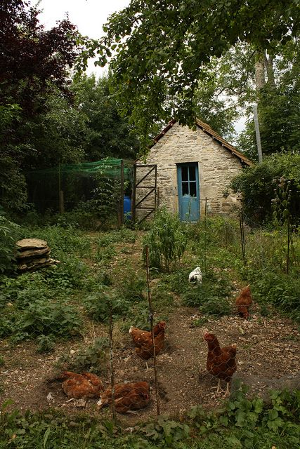Chickens beside a small stone shed with blue door