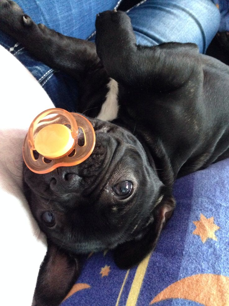 'What?', French Bulldog Puppy with Pacifier❤️