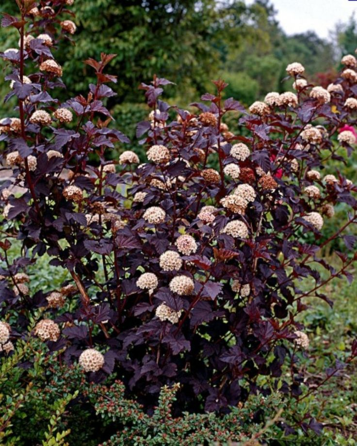 25 best ideas about dogwood shrub on pinterest dogwood for Purple low maintenance plants