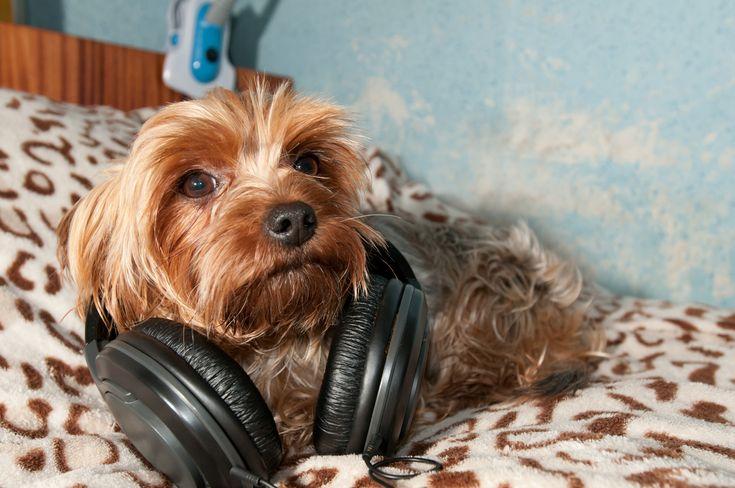 Reggae+OK!+Koirien+stressi+vähenee+rennon+letkeän+reggaen+soidessa+–+myös+soft+rock+kelpaa