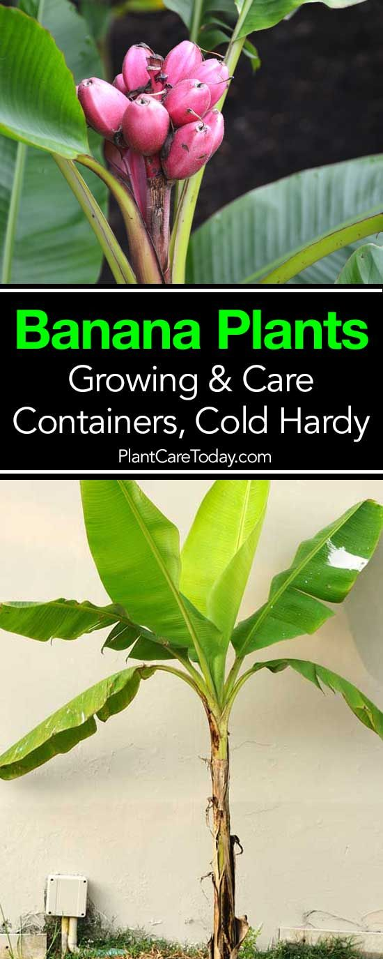 How to grow and care for banana plants. Growing in musa (bananas) in pots, overwintering bananas, propagation and more. [LEARN MORE]