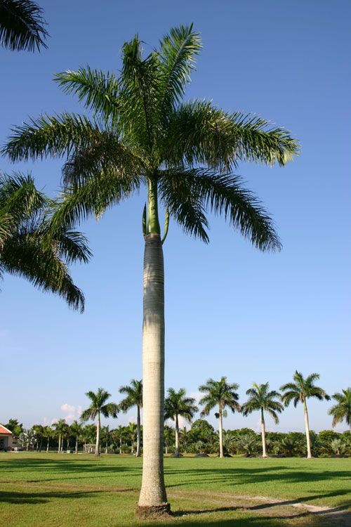 Cuban Royal Palm Tree | Justin Farms - Species | ♒Palms ...