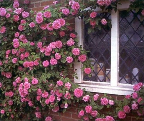 Zephirine Drouhin Antique Climbing Rose--Thornless and blooms in partial shade.