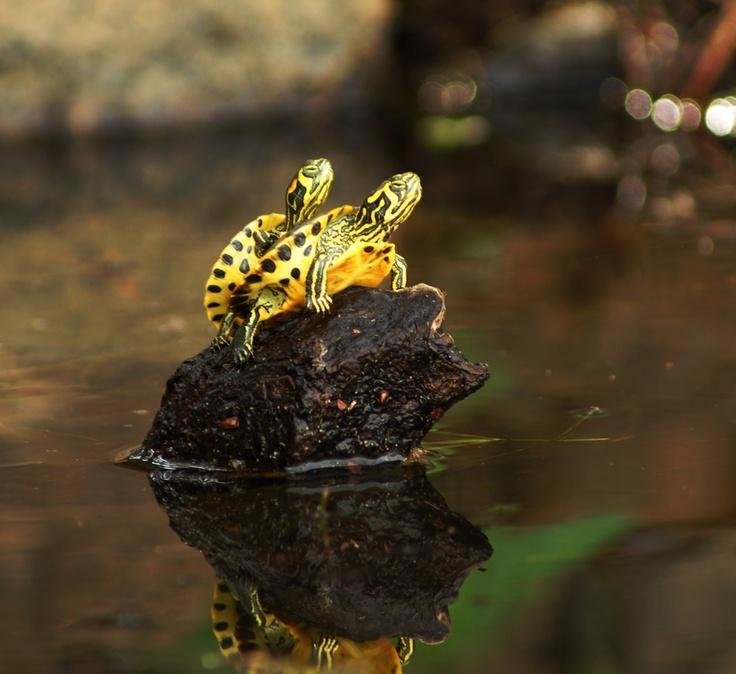 Piggyback Turtles