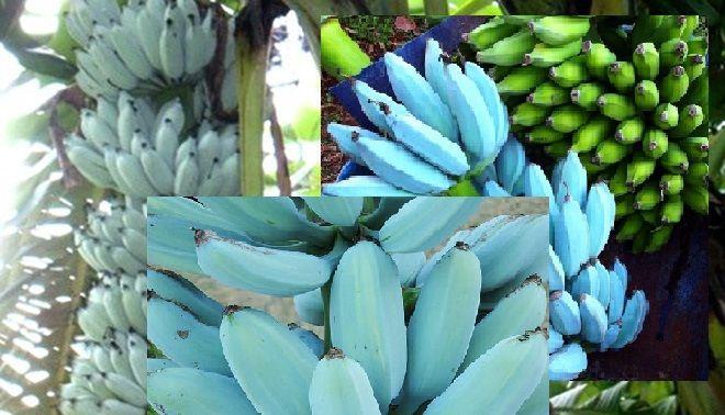 Blue Java Bananas Banana Ice Cream Banana Vegetables