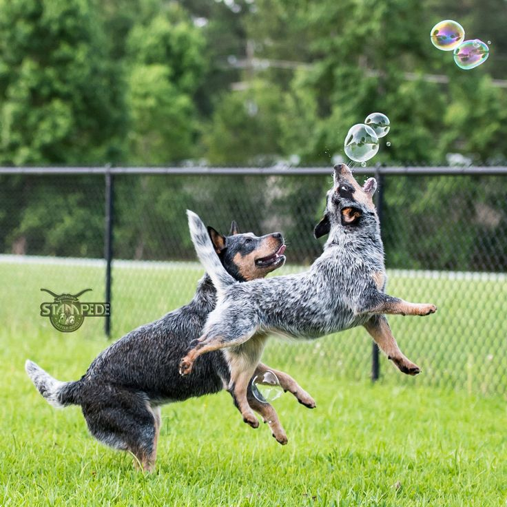 Australian Cattle Dogs/Blue Heelers Playing With Bubbles..