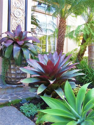 These are the giant bromeliads I was thinking about as features around palm trees
