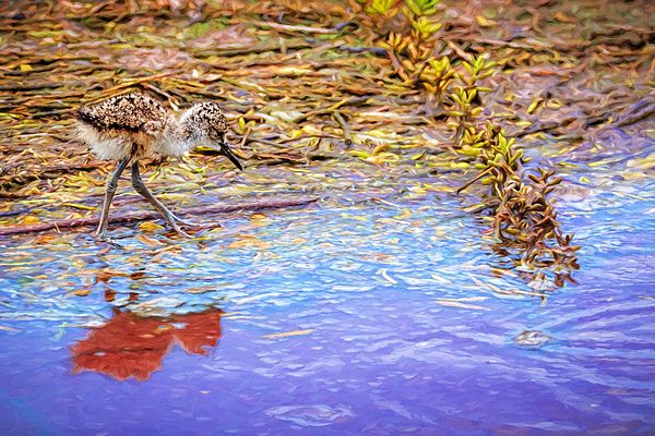 Wee Little Peep - A downy young Black Necked Stilt hatchling walks along the shoreline at Kealia Pond National Wildlife Refuge, Maui, Hawaii | Art For Sale from Susan Rissi Tregoning Fine Art Photography – Beautiful Wall Art & Home Decor for your Interior Design needs. Visit --> www.susantregoning.com | #Art #Photography #HomeDecor #SusanTregoning #birds