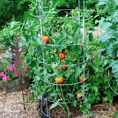 Bonnie Plants 4 in. Better Boy Tomato-115 - The Home Depot