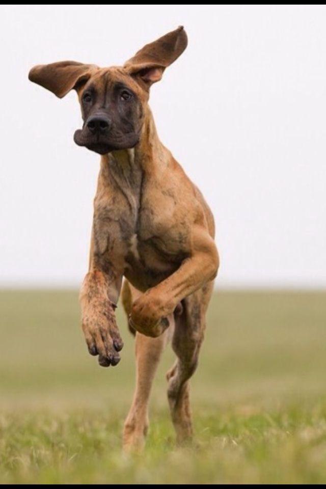 11 best Great Danes images on Pinterest | Great danes ...  11 best Great D...