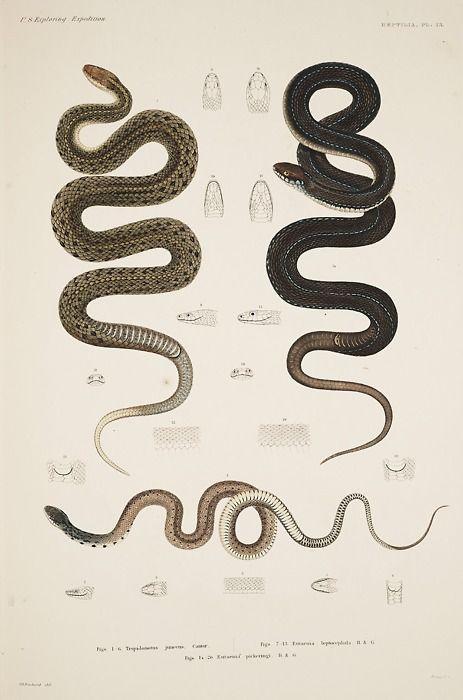 snakes gravure