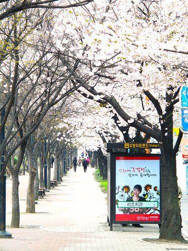 Trend Cherry blossoms on street near Duryu Park Daegu