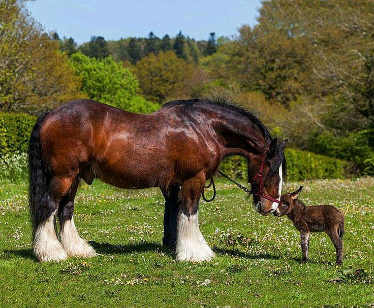 Shire horse and donkey