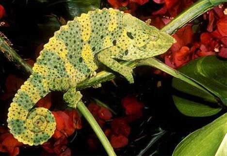 Giant One-horned Chameleon