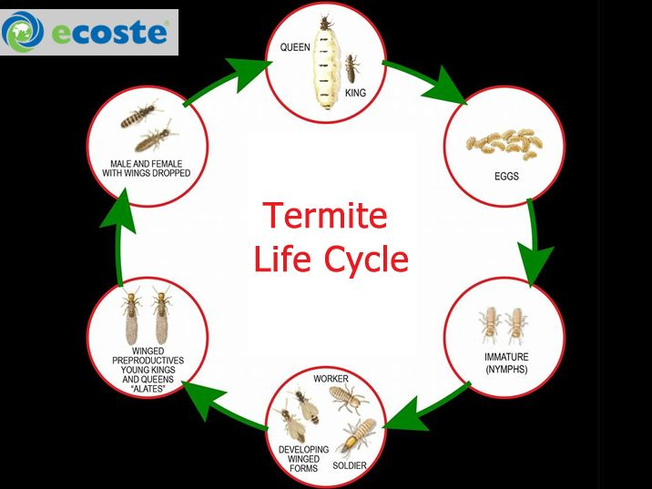 Classroom Craft Ideas ~ Life cycle of termites cycles termite
