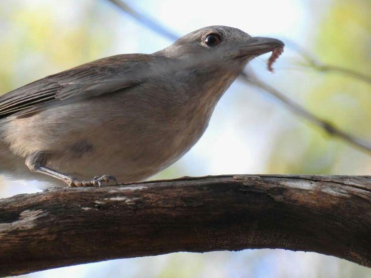 Grey Shrike-thrush, Brisbane