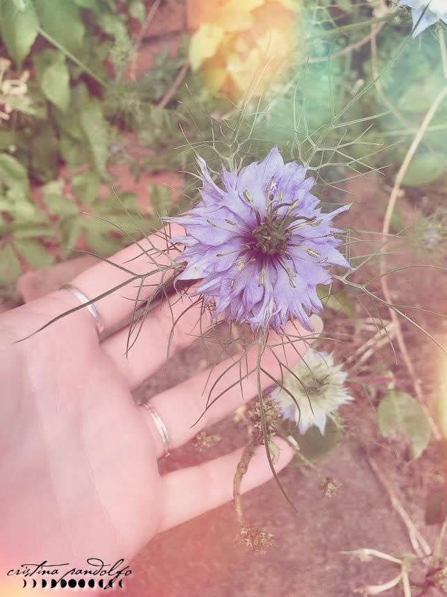 Nigella damascena. Photo by ©Cristina Pandolfo - www.cristinapandolfo.com - www.dryadesdesign.com