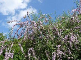 Buddleja alternifolia (Vlinderstruik), De Buddleja alternifolia bloeit lila tot lilaroze in juni en juli op de scheuten van het vorige jaar. Buddleja alternifolia heeft gebogen takken Na de bloei worden de (zij)takjes die gebloeid hebben allemaal weggeknipt. De hoofdtakken worden teruggesnoeid tot waar zich enkele sterke zijscheuten ontwikkeld hebben. Dit wordt ieder jaar herhaald. Wordt de struik te vol of te dicht dan kan 20 tot 25% van de hoofdtakken bij de basis weggehaald worden.