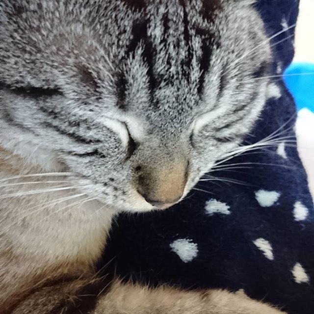 寒いにゃ🙀  腕にしがみつくつぶちゃん😳❤ さすがに自分も寒いから モコモコパジャマまた出しました😵  #愛猫#シャムトラ#シャムトラ男子#シャムトラ部#シャムミックス#ねこ#ネコ#猫#猫のいる生活#cat#cats#catstagram#mycat#にゃんこ#tsubu#つぶ#つぶちゃん