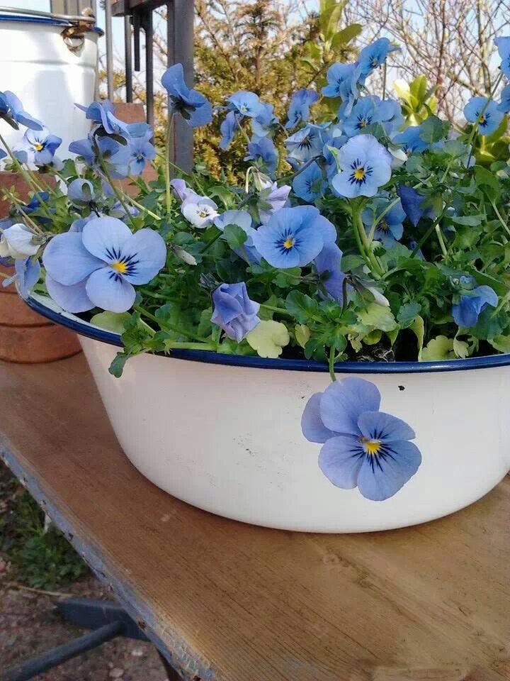 ♥Beautiful blue Pansies.