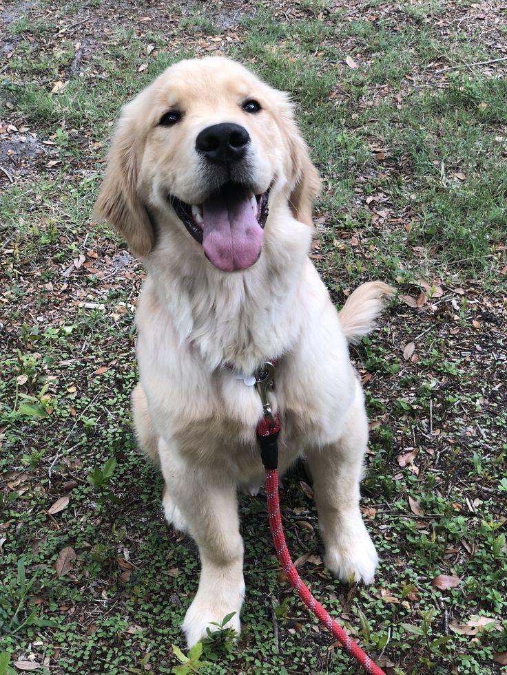 Golden Retriever Puppy Wheres Bash Goldenretrieverpuppies