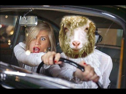Sheep Drive the Car (Try don't laugh)