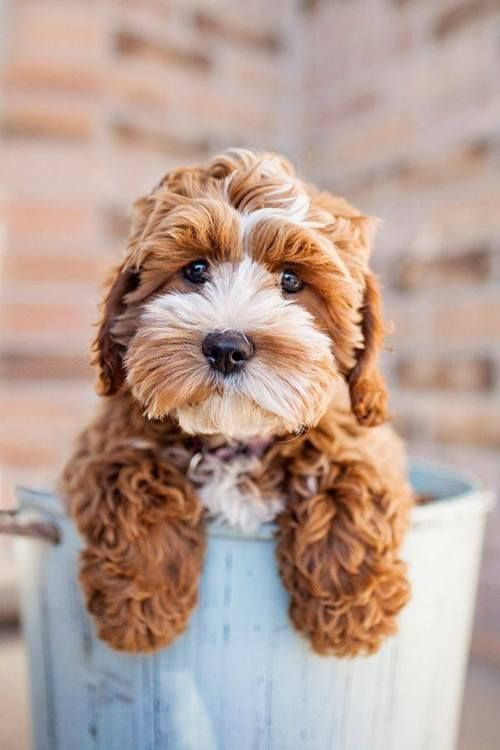 "DOES ANYONE KNOW WHAT KIND OF DOG THIS IS? IS IT A ""GOLDEN DOODLE"" (part golden / part poodle)? [.....I can't even type the name without smiling!] ♥A"