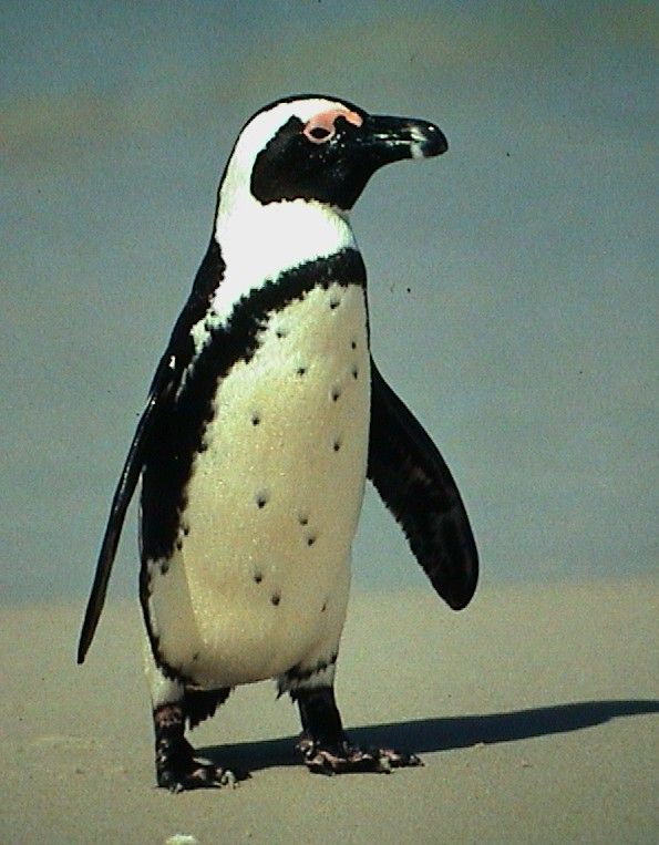 Blackfooted Penguin     Boulder Beach in Simon's Town, South Africa
