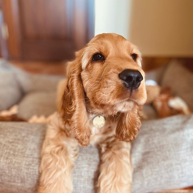 Best Foods For Cocker Spanel Here In 2020 Best Dog Food Cocker Spaniel Puppies Dog Friends