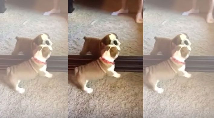 Video Watch As This Cute English Bulldog Gets Thoroughly Confused