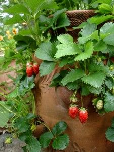 Special containers called strawberry jars are a space-efficient way to grow strawberries in a pot. Fruit in strawberry jars is clean and easy to pick. Containers can be moved to a cool, protected place such as an unheated garage during the coldest months...Sue 2013