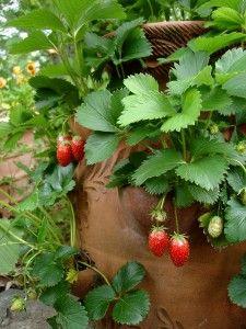 growing strawberries: Gardens Ideas, Green Thumb, Terracotta Can, Farms Food, Strawberries Jars, Growing Strawberries In A Pots, Kids Gardens, Strawberries Plants, 12 Inch Farms