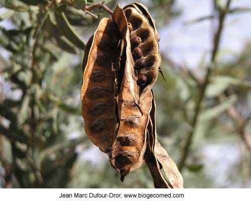 Acacia victoriae, also known as the Bramble or Elegant Wattle. Acacia seeds have been eaten by the Aborigines long before white settlement. They can be steamed like peas, when green or dried and ground into flour. Very nutritious!