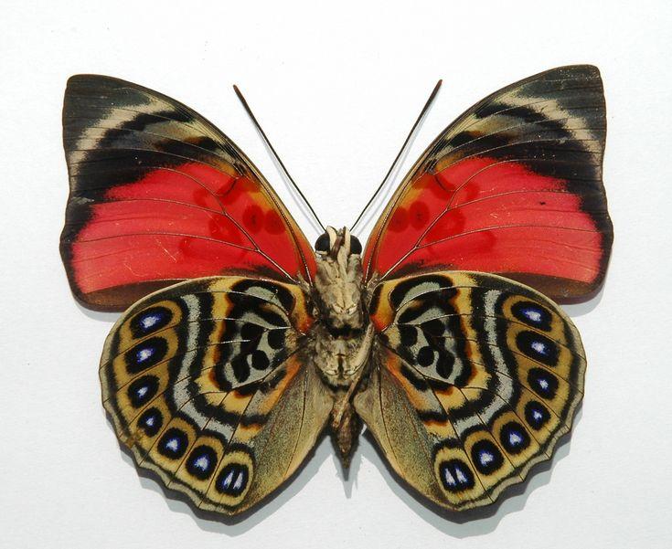 Agrias Claudina sardanapalus (Foto der Unterseite) ist ein sehr auffälliger Falter aus einer großen Gruppe leuchtend gefärbter südamerikanischer Schmetterlinge. Das Zinnoberrot der Vorderflügel und das verwirrende Farbmuster der Hinterflügel sticht bei dieser Art besonders in die Augen.  Sein Lebensraum ist die neotropische Faunenregion von Ekuador, Brasilien und Peru. Er ist im Regenwald bei Höhen zwischen 200 und 600 Metern anzutreffen. Die Raupen fressen bevorzugt auf Cocastrauch…