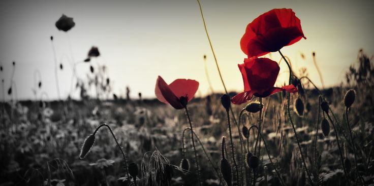 Poppy | Photography | #photography #poppy